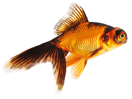 Goldfish Isolated on White Background  Stock Photo - 24191720
