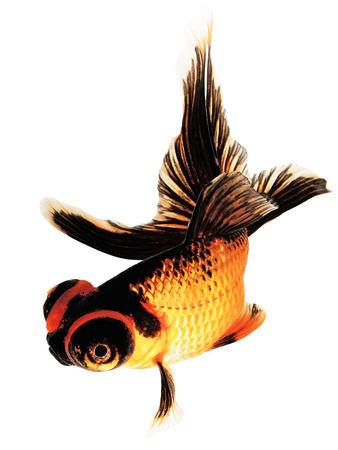 Telescope eye Goldfish Isolated on White Background Stock Photo - 24814741