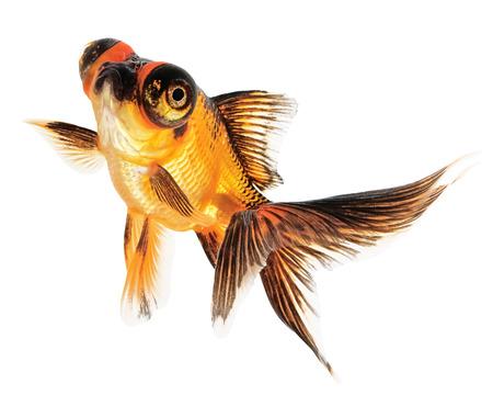 fishtank: Telescope eye Goldfish Isolated on White Background
