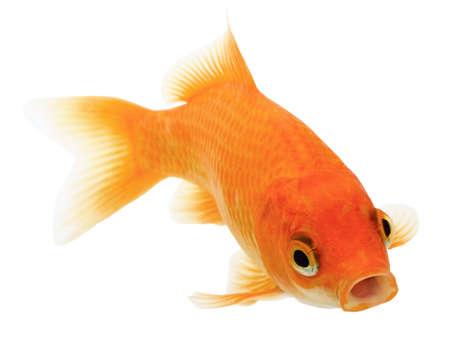 Common Goldfish Isolated on White Background. Carassius Auratus.