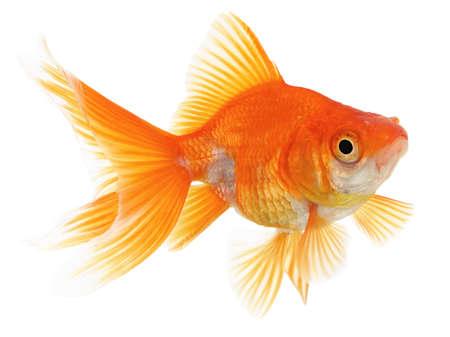 Fantail Goldfish Isolated on White Background