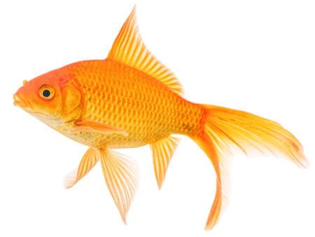 Comet Goldfish Isolated on White Background Stock Photo