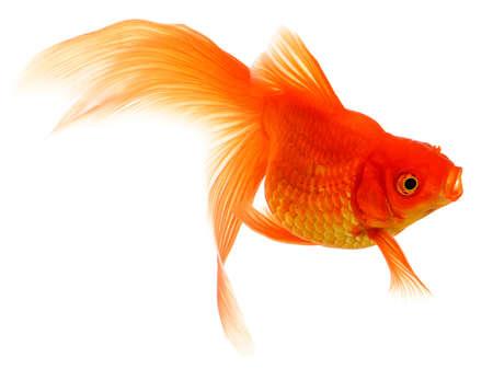 Gold Fish Isolated on White Background Standard-Bild