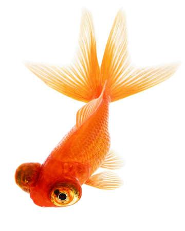 Telescope Eye Gold Fish Isolated on White Background