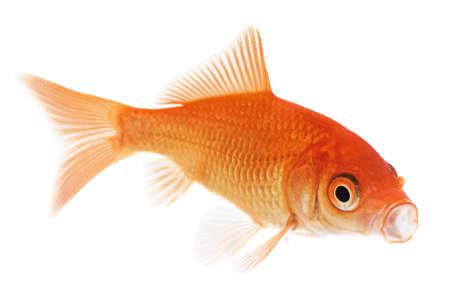Orange Goldfish Isolated on White Background