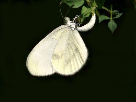 virgaureae: Butterfly