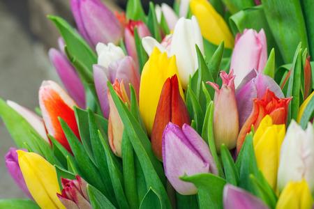 close up: Fresh tulips close up.