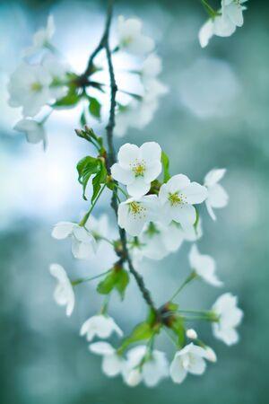 Bokeh photo of sakura (cherry blossom) with bluish background