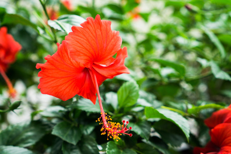 Red Chinese Rose, Shoe flower or a flower of red hibiscus with green leaves, Scientific name as Hibiscus rosa-sinensis L. Stock Photo