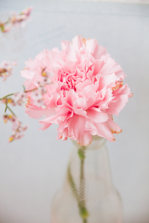 Close up of pink Carnations flower on blur background.