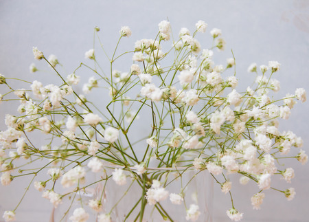 Close up of little white Gypsophila flowers on blur background. Focus some spot