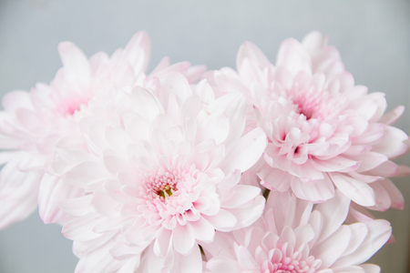 Close up of soft pink chrysanthemum on blur background.