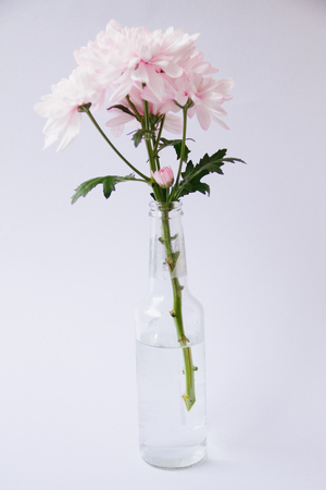 Close Up Of Soft Pink Chrysanthemum In The Glass Vase On Blur