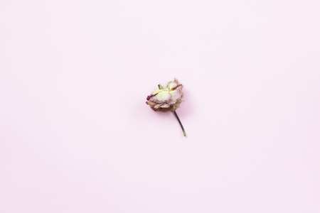 Top view of dried Rose flower on pink background