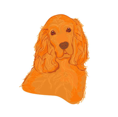 cocker: English cocker spaniel isolated on white         Illustration
