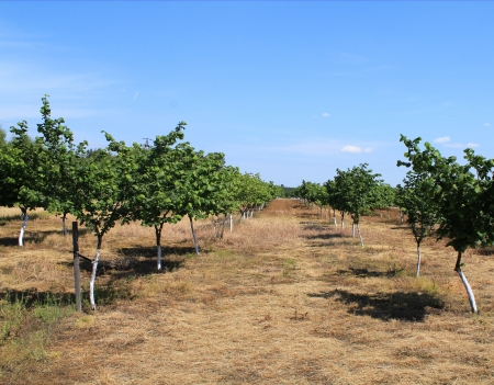 Beautiful apple orchard in a row at both sides.  Stock Photo - 17224866