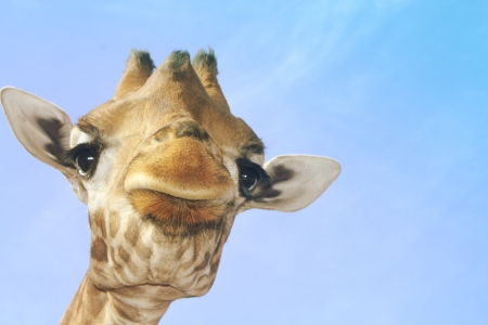 Portrait of a giraffe against a blue sky Stock Photo - 22778775