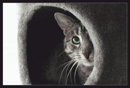 bashful: bashful cat peeking out of her cave Stock Photo