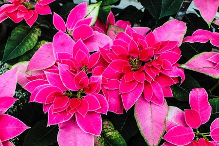bushel: pink bushel of poinsettias