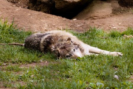 resting: resting wolf
