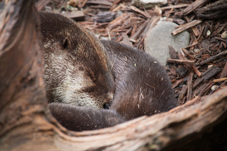 small clawed: sleeping otter close-up Stock Photo