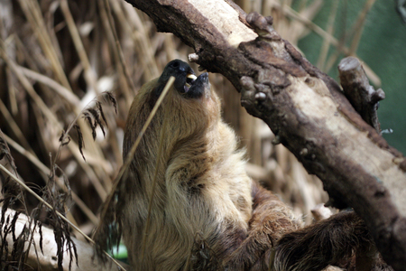 oso perezoso: Sloth haning in the trees