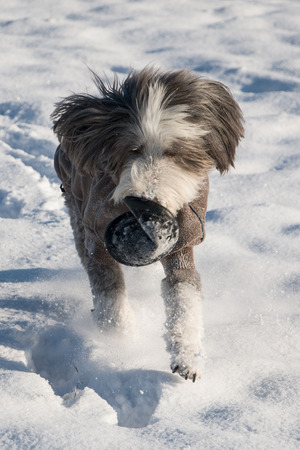 Bearded Collie playing with frisbee in snow