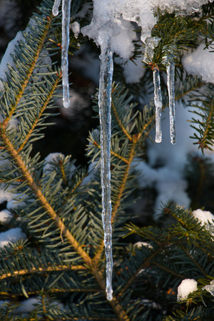 Icicles on a pine tree branch Stock Photo
