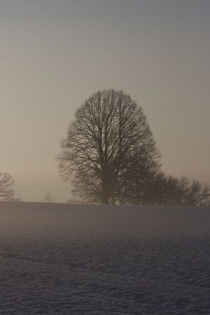 leafless: Leafless tree on a foggy winter morning