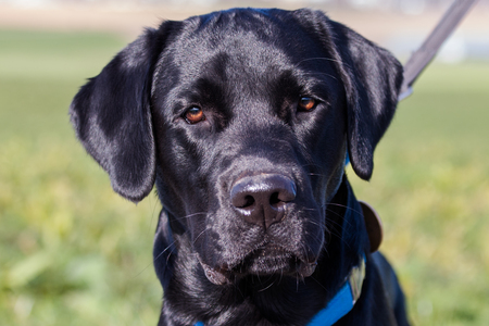 Black Labrador dog looking