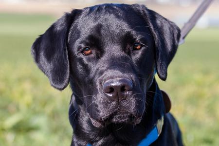 Chien Labrador noir cherchant