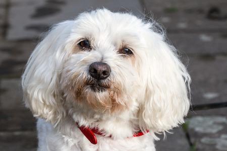 havanese: White Havanese Dog looking