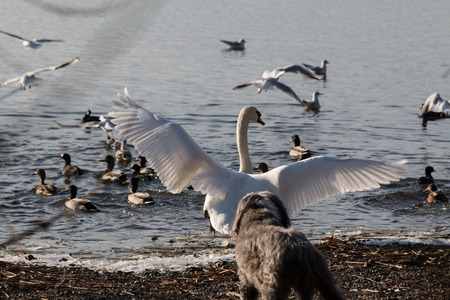 escape: Swan try to escape from dog