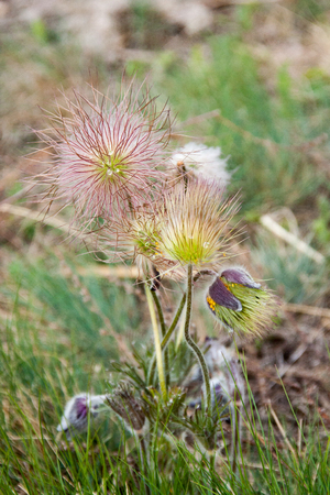 Withered Pasque Flower in the alps Stock Photo
