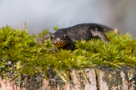 newt: Smooth Newt sitting in Moss