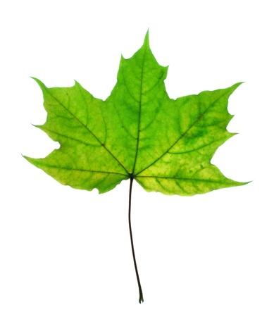 Beautiful fall leaf Standard-Bild