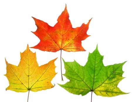 Beautiful fall leafs photo