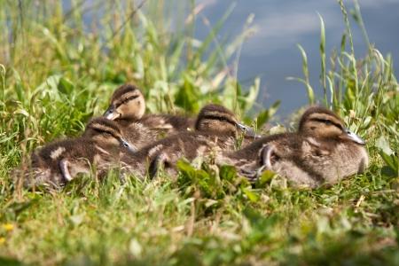 baby ducks: Baby ducks
