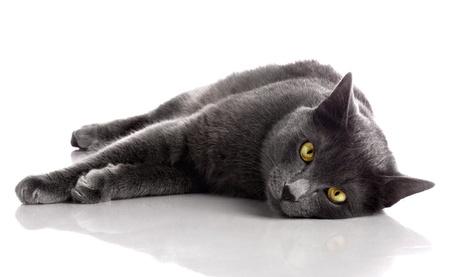 shorthair: British Shorthair cat