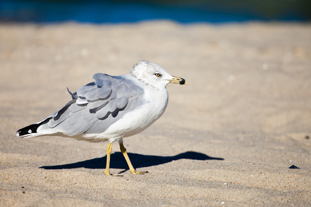 Seagull on the wind