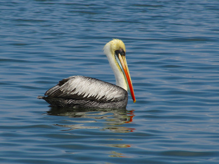 Pelican on the water Stock Photo