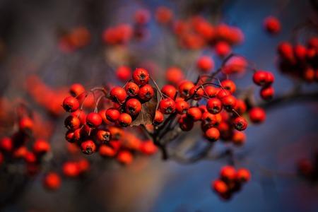 ナナカマドの果実 写真素材