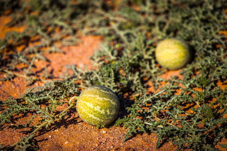 wild watermelons 스톡 콘텐츠