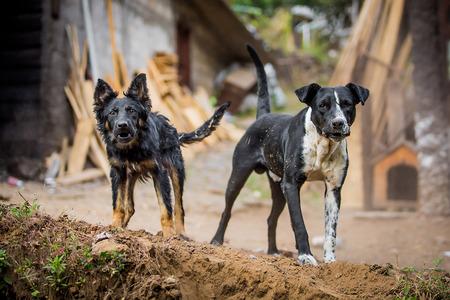 Dos perros guardias enojados mirando a la cámara Foto de archivo