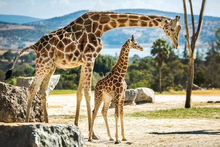 Giraffamilie op een wandeling in de woestijn Stockfoto