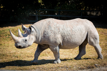 Big white rhino on the ground walking