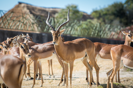 Beautiful gazelle with a herd in the day