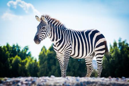 Beautiful zebra standing alone with blue sky