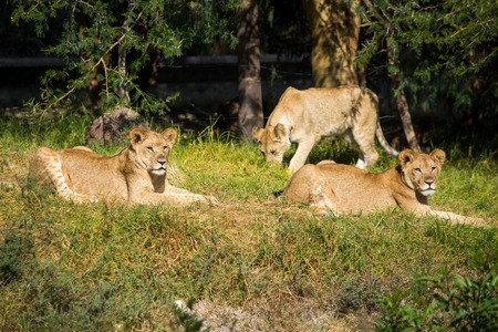 Young lions on the grass laying on a summer day