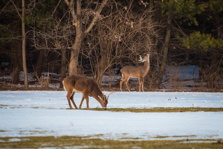 Group of young deer in the forest in winter